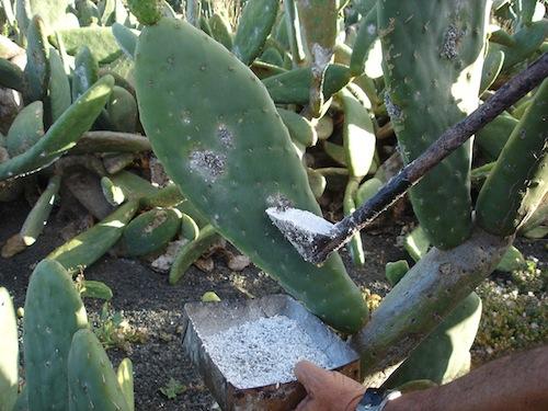 Cochinilla de Lanzarote