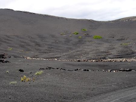 Viñedos casi abandonados en las faldas del volcán
