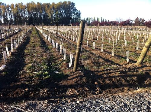 Nuevas plantaciones en la región foto-por-cristina-alcala