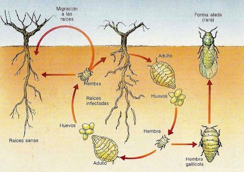 Ciclo de la filoxera